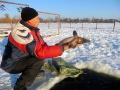 Запуск осетра в Белое озеро. Январь 2014.